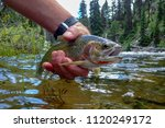 Wild westslope cutthroat trout caught and released in the Middle Fork of the Salmon River, Idaho