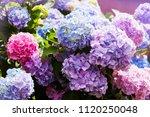 Pink  Blue  Lilac  Violet ...