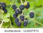 Blackberry Fruit Growing On...