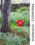 anemone coronaria  the poppy... | Shutterstock . vector #1120403066