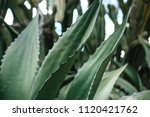 exotic or tropical plant in... | Shutterstock . vector #1120421762