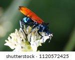 Pepsi Wasp   Tarantula Hawk