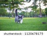 the british short hair cat on... | Shutterstock . vector #1120678175