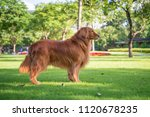 golden retriever playing in the ... | Shutterstock . vector #1120678235