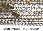 rat in cage mousetrap on white... | Shutterstock . vector #1120707035