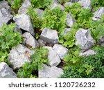 small green foliage plants... | Shutterstock . vector #1120726232