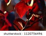Small photo of Elegant red plum cherry plum Pissard.