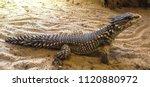 Small photo of armadilolo girdled lizard