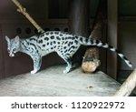 portrait of a common genet | Shutterstock . vector #1120922972