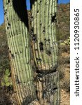 Old Saguaro Cactus Trunk With...