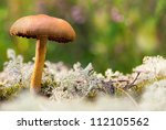 Brown mushroom on white moss - Cortinarius Malicorius - stock photo
