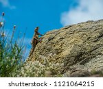 lizard on the stone with blue... | Shutterstock . vector #1121064215