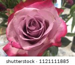 Stock photo dusty rose and bright pink colored rose 1121111885
