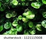 Lotus Leaf For Background ...