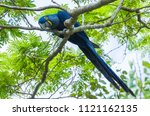 Beautiful Hyacinth Macaw ...
