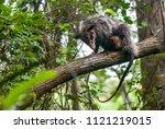 big eared opossum photographed... | Shutterstock . vector #1121219015