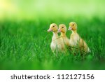 Small Ducklings Outdoor On...