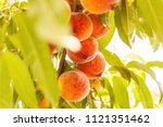 peach trees and harvesting... | Shutterstock . vector #1121351462