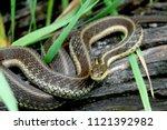 Eastern Garter Snake On Log