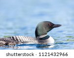 common loon swimming on lac... | Shutterstock . vector #1121432966