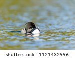 common loon swimming on lac... | Shutterstock . vector #1121432996