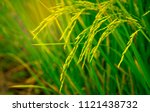 closeup of rice paddy in rice... | Shutterstock . vector #1121438732