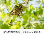 Tawny Owl  Strix Aluco  Resting ...