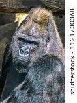 Gorilla Male Portrait. Big...