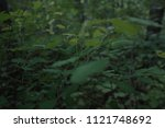 green leaves  thin branches ... | Shutterstock . vector #1121748692