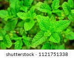 green mint plants in a... | Shutterstock . vector #1121751338