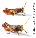 Small photo of Golden Brown Cricket Grasshopper Caelifera Orthoptera Insecta in Thailand on an isolated white background