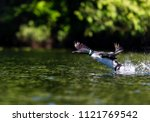 common loon preparing to take... | Shutterstock . vector #1121769542