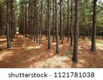 a grove of pine trees planted... | Shutterstock . vector #1121781038