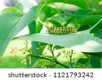 Green Caterpillar On Lilac Lea...
