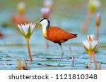Stock photo african jacana actophilornis africana colorful african wader with long toes next to violet water 1121810348
