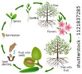 cycle of almond tree growth on... | Shutterstock .eps vector #1121837285