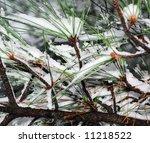 wintry pine   Shutterstock . vector #11218522