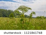 giant hogweed  a giant hogweed... | Shutterstock . vector #1121861768