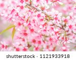 cherry blossom in spring with... | Shutterstock . vector #1121933918