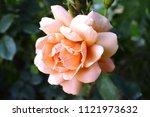 tropicana rose in bloom | Shutterstock . vector #1121973632