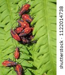 Red Shouldered Bugs On Fern