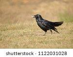 the australian raven  corvus... | Shutterstock . vector #1122031028
