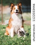 Small photo of beautiful and funny dog collie collie and rabbit.