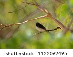 the willie  or willy  wagtail ... | Shutterstock . vector #1122062495