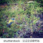 patagonian sierra finch   Shutterstock . vector #1122108956