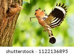 eurasian hoopoe or common... | Shutterstock . vector #1122136895
