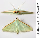 Small photo of Green and Orange Moth Lepidoptera on a white isolated background in Thailand South East Asia