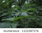 branch with green leaves  close ... | Shutterstock . vector #1122287276
