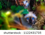 stray siamese cat or kitty... | Shutterstock . vector #1122431735