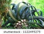 giant agave cut into the garden | Shutterstock . vector #1122495275